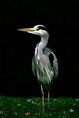 Grey Heron ( Ardea cinerea )