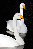 Pair of Whooper Swans (Cygnus Cygnus)