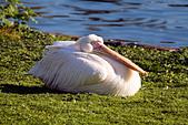 European White Pelican ( Pelecanus onocrotalus )
