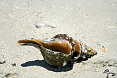 Shell on beach, Holbox island, Quintana Roo, Yucat�n Peninsula, Mexico,