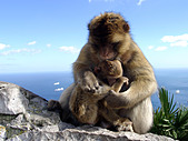 Barbary Macaque monkeys (Macaca sylvanus L ) father groming son